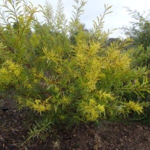 Acacia rubida at Sth Tablelands Ecosystem Park - 3 Sep 2015