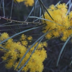 Acacia boormanii (Snowy River Wattle) at Point Hut Pond - 7 Sep 2015 by michaelb