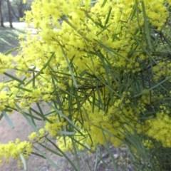 Acacia boormanii (Snowy River Wattle) at Mount Ainslie - 12 Sep 2015 by SilkeSma