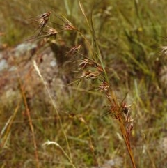 Themeda triandra (Kangaroo Grass) at Tuggeranong Hill - 2 Jan 2000 by michaelb