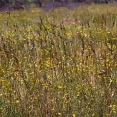 Themeda triandra (Kangaroo Grass) at Conder, ACT - 27 Nov 1999 by michaelb