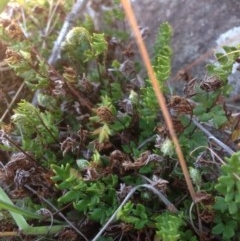 Cheilanthes distans (Bristly cloak fern) at Molonglo River Park - 14 Sep 2015 by RichardMilner