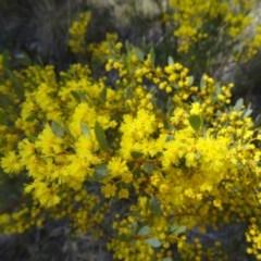 Acacia buxifolia subsp. buxifolia (Box-leaf Wattle) at Paddys River, ACT - 5 Sep 2015 by galah681