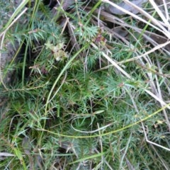 Acrotriche serrulata (Ground-berry) at Kambah, ACT - 16 Sep 2015 by FranM