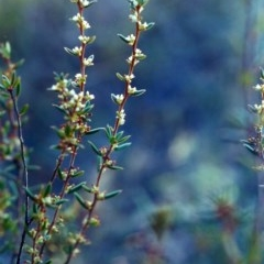 Monotoca scoparia (Broom Heath) at Theodore, ACT - 14 May 2001 by michaelb