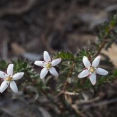 Rhytidosporum procumbens (White Rhytidosporum) at Acton, ACT - 17 Sep 2015 by KenT