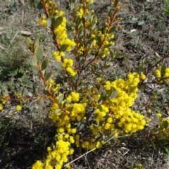 Acacia buxifolia subsp. buxifolia (Box-leaf Wattle) at Farrer, ACT - 13 Sep 2015 by galah681