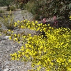 Acacia acinacea at Sth Tablelands Ecosystem Park - 17 Sep 2015