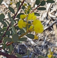 Acacia buxifolia subsp. buxifolia (Box-leaf Wattle) at Sth Tablelands Ecosystem Park - 17 Sep 2015 by galah681