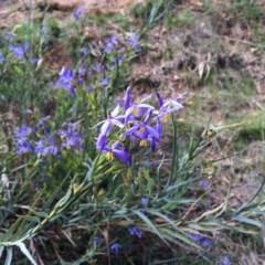 Stypandra glauca (Nodding Blue Lily) at Hackett, ACT - 20 Sep 2015 by AdamfromOz