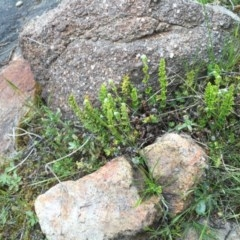 Cheilanthes distans (Bristly cloak fern) at Stromlo, ACT - 21 Sep 2015 by dcnicholls