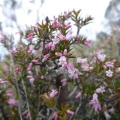 Lissanthe strigosa subsp. subulata (Peach Heath) at Gungahlin, ACT - 22 Sep 2015 by EmmaCook