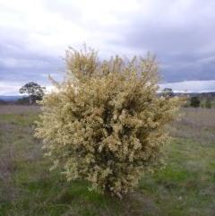 Acacia genistifolia (Early Wattle) at Gungahlin, ACT - 22 Sep 2015 by EmmaCook