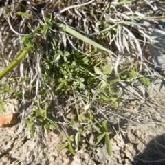 Cullen tenax (Tough scurf-pea) at Mawson Ponds - 24 Sep 2015 by MichaelMulvaney