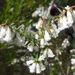 Leucopogon fletcheri subsp. brevisepalus (Twin Flower Beard-Heath) at Molonglo Gorge - 23 Sep 2015 by FranM