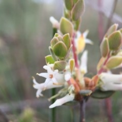 Brachyloma daphnoides (Daphne Heath) at Black Mountain - 26 Sep 2015 by JasonC