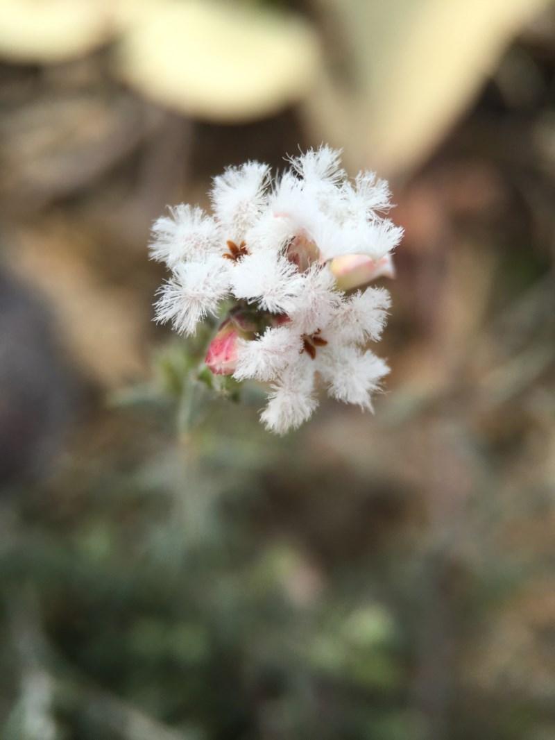 Leucopogon virgatus at Black Mountain - 28 Sep 2015