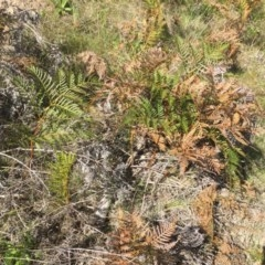Pteridium esculentum (Bracken Fern, Bracken) at Stromlo, ACT - 1 Oct 2015 by dcnicholls