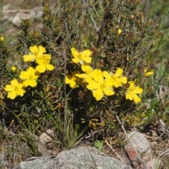Hibbertia calycina (Lesser Guinea-flower) at Mount Painter - 2 Oct 2015 by KenT