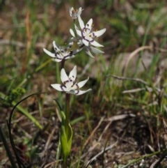 Wurmbea dioica subsp. dioica (Early Nancy) at Mount Painter - 2 Oct 2015 by KenT