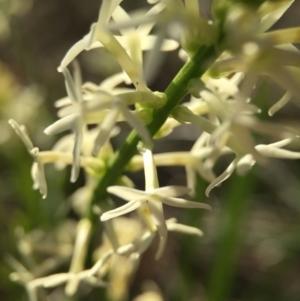 Stackhousia monogyna at Black Mountain - 4 Oct 2015