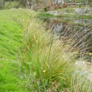 Carex appressa at Wanniassa Hill - 5 Oct 2015