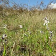 Wurmbea dioica subsp. dioica (Early Nancy) at Percival Hill - 28 Sep 2015 by gavinlongmuir