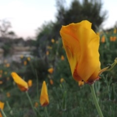 Eschscholzia californica (California Poppy) at Point Hut to Tharwa - 6 Oct 2015 by michaelb