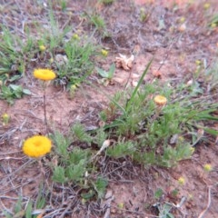Leptorhynchos squamatus (Scaly Buttons) at Percival Hill - 11 Oct 2015 by gavinlongmuir