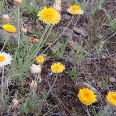 Leucochrysum albicans subsp. albicans (Hoary Sunray) at Nicholls, ACT - 11 Oct 2015 by gavinlongmuir