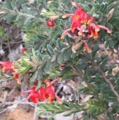 Grevillea alpina (Mountain Grevillea / Cat's Claws Grevillea) at Dryandra St Woodland - 17 Oct 2015 by ibaird