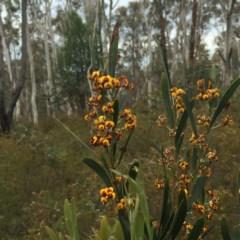 Daviesia mimosoides (Bitter Pea) at Dryandra St Woodland - 17 Oct 2015 by ibaird