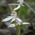 Caladenia moschata at Black Mountain - 16 Oct 2015
