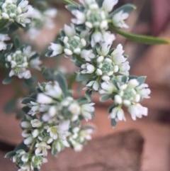 Poranthera microphylla (Poranthera) at Mount Majura - 18 Oct 2015 by AaronClausen
