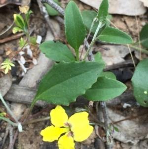 Goodenia hederacea subsp. hederacea at Dryandra St Woodland - 18 Oct 2015