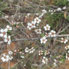 Leptospermum multicaule (Teatree) at Dryandra St Woodland - 17 Oct 2015 by ibaird
