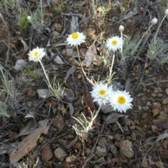 Leucochrysum albicans subsp. tricolor (Hoary Sunray) at Majura, ACT - 19 Oct 2015 by SilkeSma