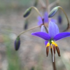 Dianella revoluta var. revoluta (Black-anther Flax Lily) at Black Mountain - 21 Oct 2015 by JasonC
