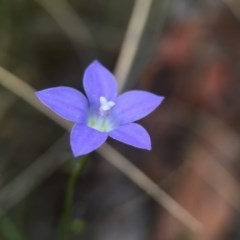 Wahlenbergia sp. (Bluebell) at Acton, ACT - 21 Oct 2015 by JasonC