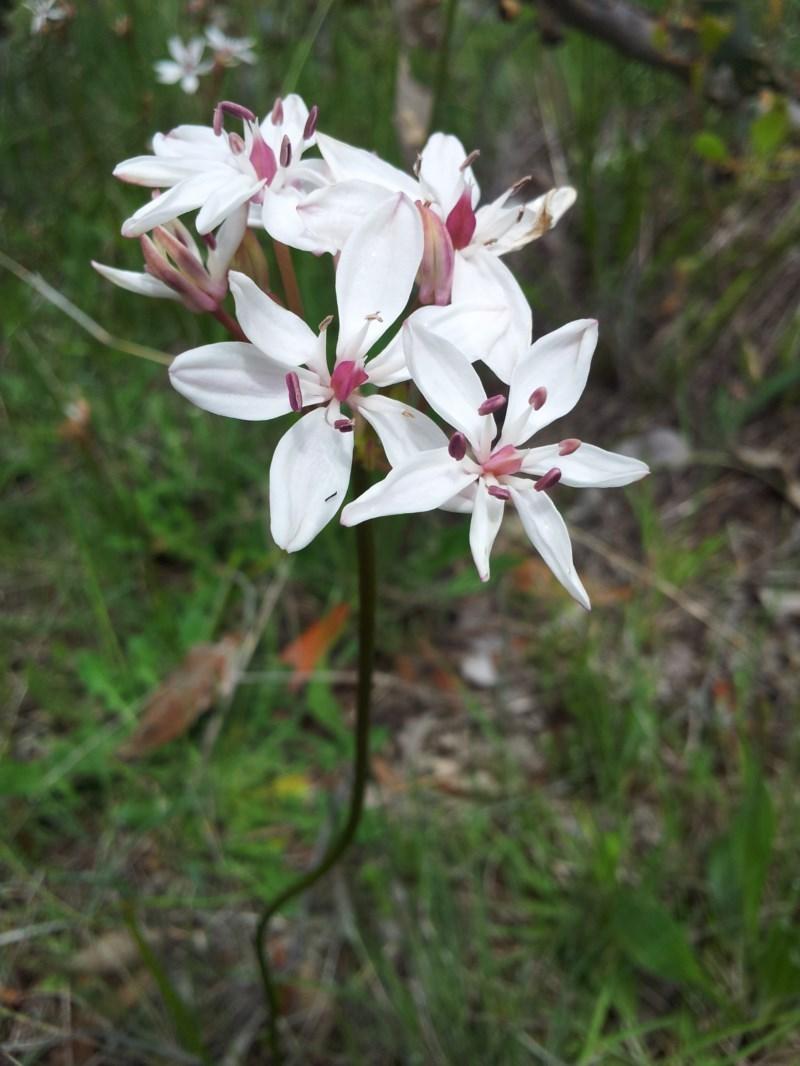 Burchardia umbellata at Mount Taylor - 22 Oct 2015