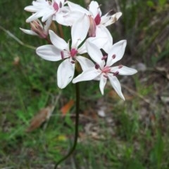 Burchardia umbellata (Milk Maids) at Mount Taylor - 22 Oct 2015 by RosemaryRoth