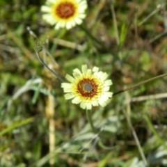 Tolpis barbata (Yellow Hawkweed) at Wanniassa Hill - 24 Oct 2015 by ArcherCallaway