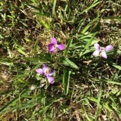 Viola betonicifolia (Purple Violet) at Nanima, NSW - 25 Oct 2015 by Hilary