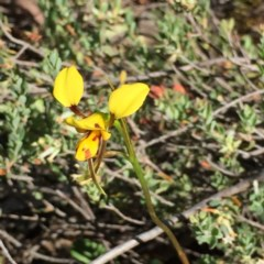 Diuris sulphurea (Tiger orchid) at Black Mountain - 25 Oct 2015 by ibaird