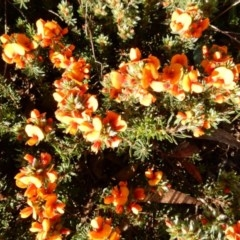 Pultenaea subspicata (Low Bush-pea) at Umbagong District Park - 26 Oct 2015 by Rosie
