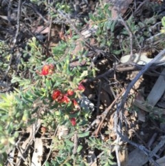 Grevillea alpina (Mountain Grevillea / Cat's Claws Grevillea) at Black Mountain - 25 Oct 2015 by ibaird