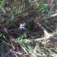 Stypandra glauca (Nodding Blue Lily) at Black Mountain - 25 Oct 2015 by ibaird