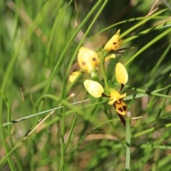 Diuris sulphurea (Tiger orchid) at Black Mountain - 28 Oct 2015 by petersan