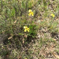 Velleia paradoxa (Spur Velleia) at Bungendore, NSW - 1 Nov 2015 by yellowboxwoodland