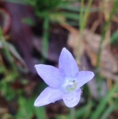 Wahlenbergia stricta subsp. stricta (Tall Bluebell) at Urambi Hills - 1 Nov 2015 by barkingbard